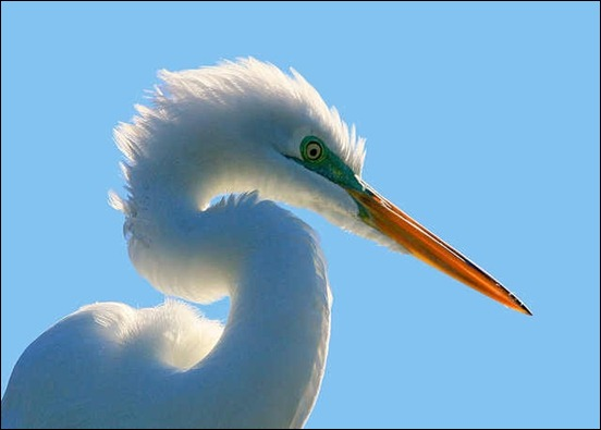 backlit-egret