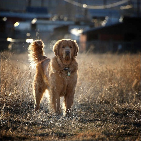 backlit-golden-retriever