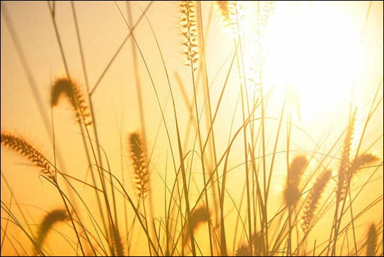 backlit-grasses