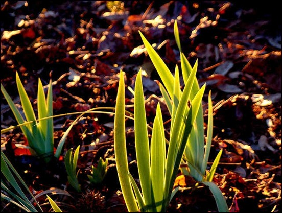 backlit-iris-leaves