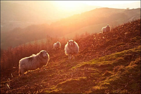 backlit-sheep
