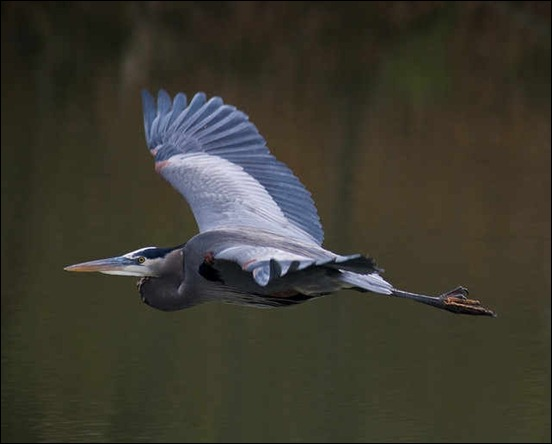 great-blue-heron-in-flight