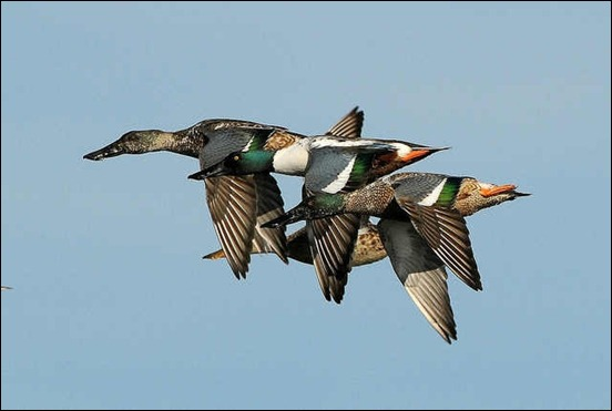 northern-shovelers-in-flight