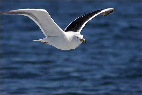 a-great-black-back-gull