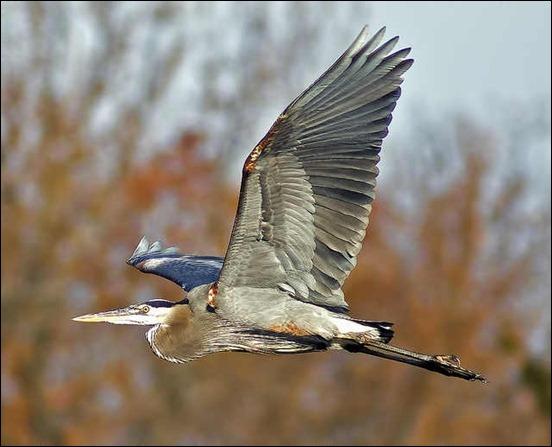 blue-heron-in-flight