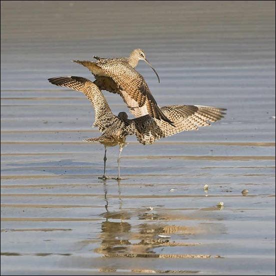 long-billed-curlew-birds