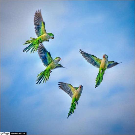 monk-parakeets