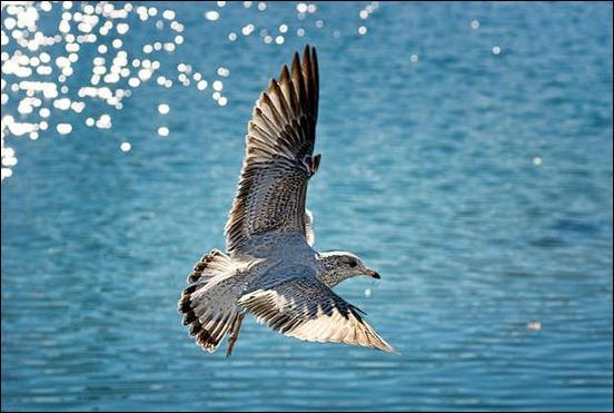 seagull-in-flight