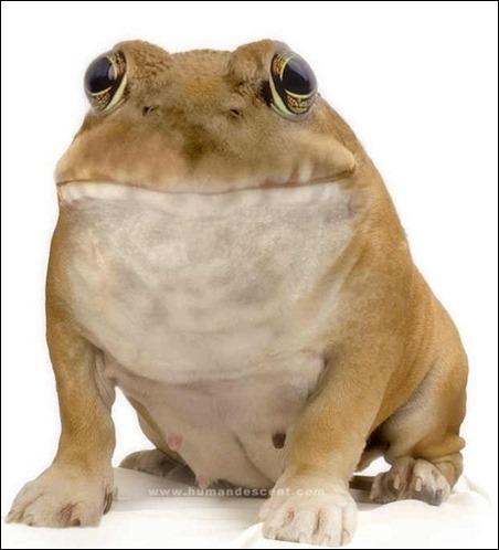 bulldog-frog