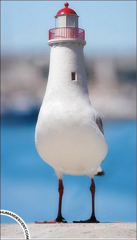 lightgull